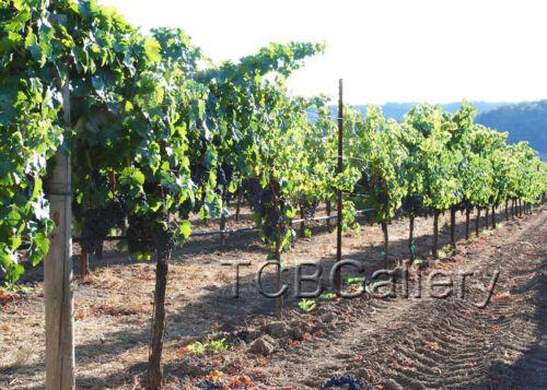 "/""Napa Vineyard/"" California Art Photograph Signed 8 x 10"