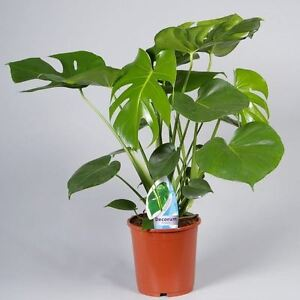 Details about Swiss Cheese Plant (Monstera Deliciosa) in 17+cm pot  60cm  tall approx