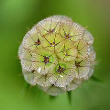 35+ STARFLOWER PINCUSHION  DRUMSTICK, Scabiosa/ DEER RESISTANT FLOWER SEEDS