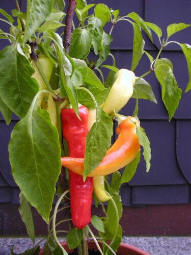 Pepperoni Spicy SG: 0 Pimiento Blanco 15 Korn Chili Samen Mild