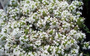 Feldthymian-Thymus-serphyllum-album-Pflanze-ab-2-17
