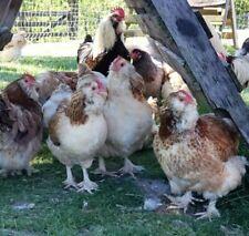 Salmon Faverolles Sixteen Fertilized Hatching Eggs