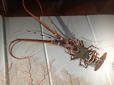 """36"""" spiney lobster rock crustacean shell crab mount taxidermy replica 3'"""
