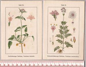 Botanik-Kraeuter-Blumen-Baldrian-Dreiblatt-Holunder-2-Lithographien-1905