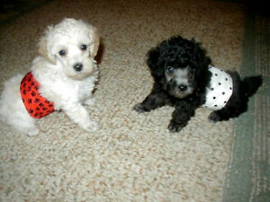 2 PK MALE TOY DOG SM PUPPY BELLY BAND WRAP DIAPERS