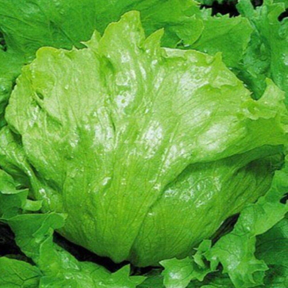 Hydroponic Green Iceberg Lettuce Seeds Home Garden 3000pcs