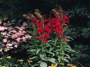 Details About 50 Lobelia Seeds Compliment Scarlet Flower Seeds