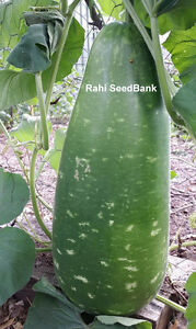 Giant-Bottle-Gourd-Vim-A-Calabash-Lauki-Variety-that-Grows-Over-25-Pounds