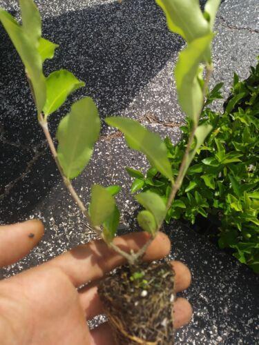 Live Plant Barbados Pesticide Free FREE SHIPPING!! Acerola Cherry Tree Plant