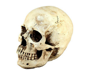 Realistic-Human-Skull-Replica-Gothic-Halloween-Decoration-Prop-Accessory
