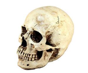 Realistic-Human-Skull-Replica-Gothic-Halloween-Decoration-Prop-Accessory