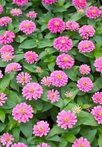 "Charitable Seedeo ® Poinsettia ""zinnia Pink"" (zinnia Elegans) 50 Graines-afficher Le Titre D'origine"