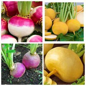 Seeds-Turnip-Purple-Top-Golden-Ball-Petrovskaya-Rare-Vegetable-Organic-Heirloom