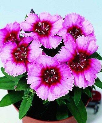 40+  DIANTHUS  VAMPIRE PERENNIAL FLOWER SEEDS / FRAGRANT  LONG LASTING