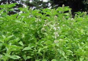 Basil-Lime-Ocimum-Basilicum-200-Seeds