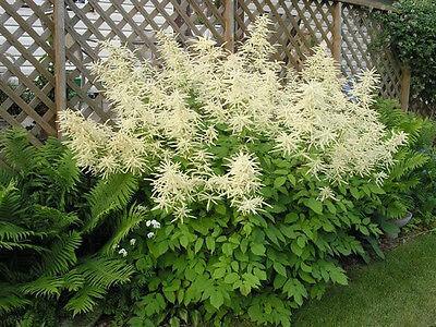50 White GOATS BEARD Aruncus Dioicus Flower Seeds *Comb SH