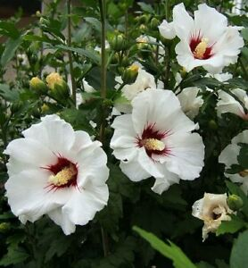 Hibiscus Syriacus Red Heart 50 Seeds Ebay
