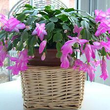 10pcs bag Christmas cactus flower seeds,christmas cactus plants