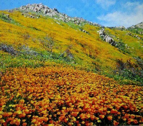 Plant Now for Summer California Poppy 250 Fresh Seeds