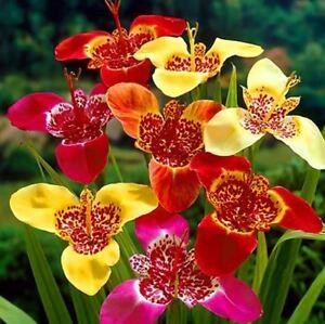 10 tigridia fleur TIGER MIX printemps jardinage bulbes Jardin Bulbes ...