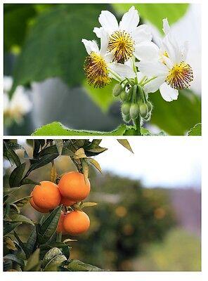 Due Meravigliose Bellezze Per Interno: Stanza Linde E Mandarini Albero!-mostra Il Titolo Originale