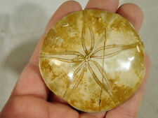 A 200 Million YEAR Old! Polished SEA URCHIN Fossil From Madagascar 97.1gr