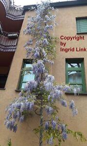 BLAUREGEN-winterharte-Garten-Pflanzen-Samen-exotische-Zierpflanze-Kletter-Rank