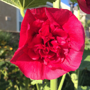 50-Seeds-Hollyhock-Rose-Red-Double-Flowers-2018-Harvest-Hardy-Biennial