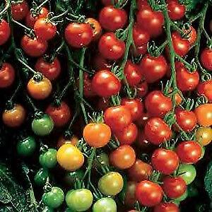 Tomato Super Sweet 100   1,000 seeds