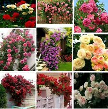 12 Seeds Mixed Rose Flower Seeds Imported from UK Seed