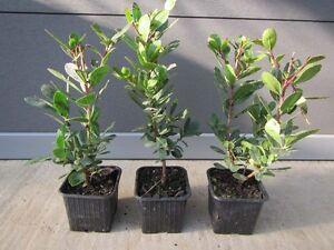 Arbutus-unedo-westl-Erdbeerbaum-winterharte-Pflanze-20-35cm-essbare-Fruechte