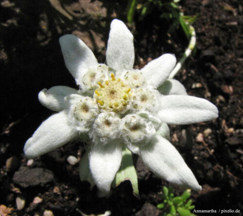 ab 200 Samen Echtes Alpen Saatgut  #001546 Edelweiß Leontopodium alpinum