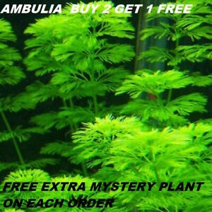 Ambulia-Limnophila-sessiliflora-plants-Fresh-Live-Aquarium-Plants-BUY2GET1FREE