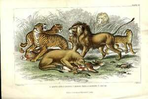 Original Old Antique Print Lion Tiger Jaguar H/C 1866 Natural History Victorian