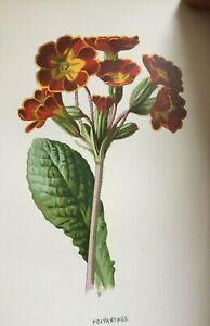 ANTIQUE PRINT C1900 POLYANTHUS GARDEN FLOWERS BOTANY BOTANICAL PLANT FLOWER ART
