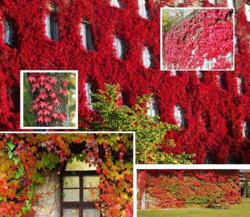250 Graines Parthenocissus tricuspidata Japanese Creeper seeds Boston Ivy