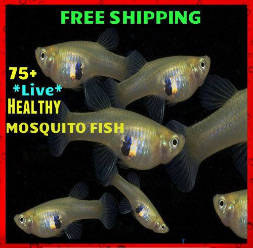 75+ Live Gambusia Mosquito Fish Aquarium and Pond Feeder Fish Hardy Guppy