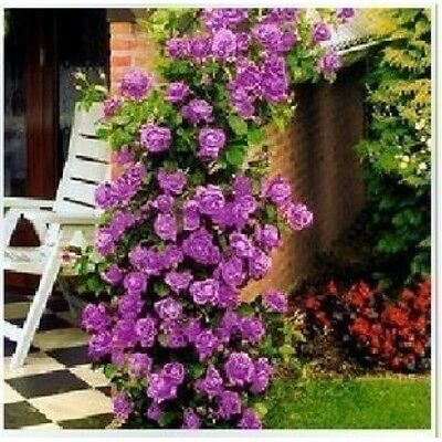 1x PURPLE FRAGRANT CLIMBING BUSH ROSE BARE ROOTED GRDEN PLANT