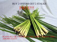12 Lemongrass Stalks - Cymbopogon Herb Sereh EZ to plant-or Grow in pots
