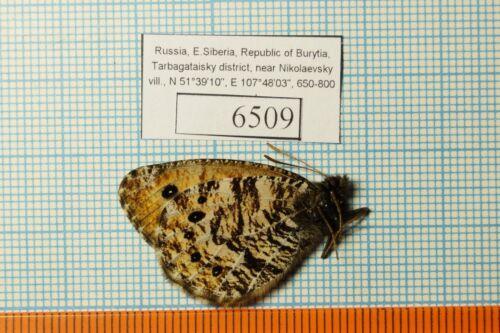 Oeneis nanna ssp 18m Satyridae !PRICE FOR EACH!