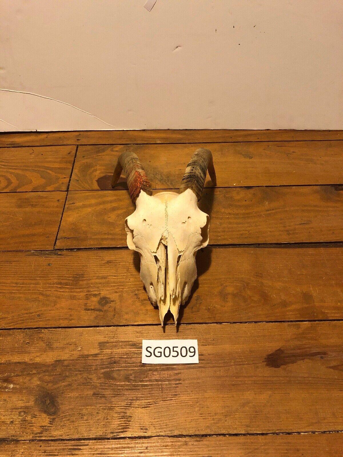 Cráneo de cabra Texas Hill Country Decoración Rústica Occidental fauna Ranch SG0509