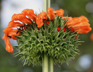 30 Graines Leonotis Nepetifolia, Wild Dagga, africain löwenohr, Klip  </span>