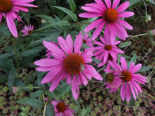 Sonnenhut ROT Echinacea purpurea Rubeckia winterhart Heilpflanze 30 Samen