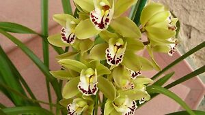 ORCHIDEE-CYMBIDIUM-ADULTE