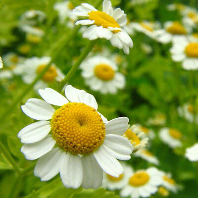 Chamomile Roman 200 seeds 'Plant's Physician' Culinary Medicinal herb garden