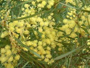Acacia Iteaphylla Flinders Range Wattle 15 Seeds Ebay