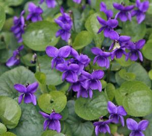 15 viola odorata queen charlotte violet edible perennial shade image is loading 15 viola odorata queen charlotte violet edible perennial mightylinksfo