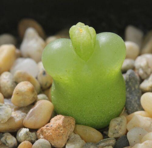 Ophthalmophyllum latum  SB-1495        5 seeds