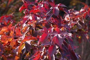 Image Is Loading Liquidambar Formosana Chinese Sweetgum Tree Seeds