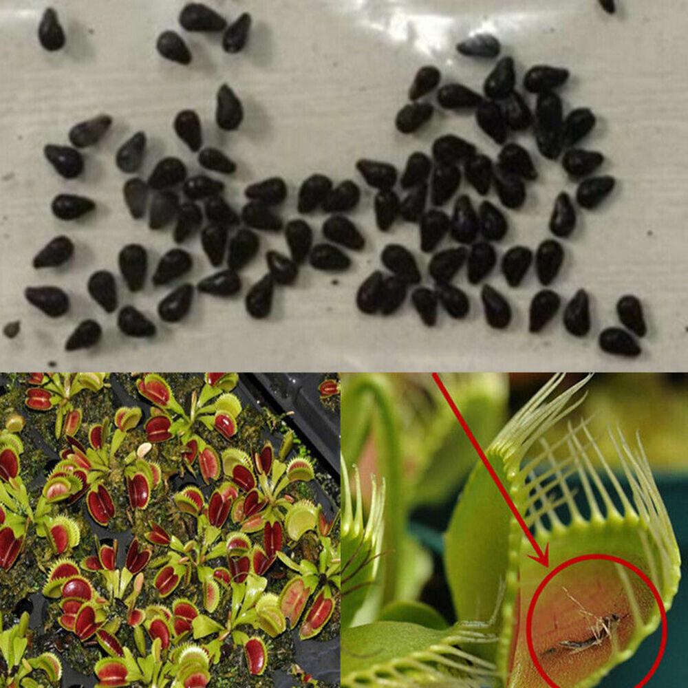 Am_ 40 Pcs Dionaea Muscipula Venus Flytrap Carnivorous Plant Flower Seeds Decor Home & Garden